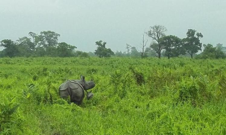 Rhino10-Calf-ManasNP_Sande_D-WWF-India_(2)